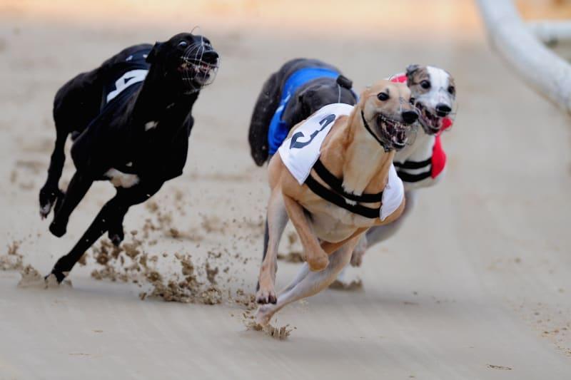irish greyhound derby betting 2021 corvette